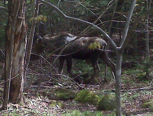 Moose at Roaring Brook Campground