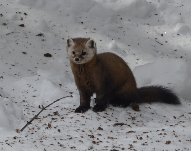 Marten near Mount Tom Spur