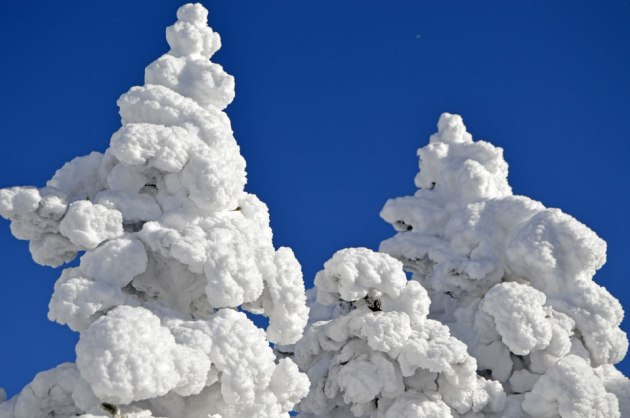 Clear sky and snow covered trees