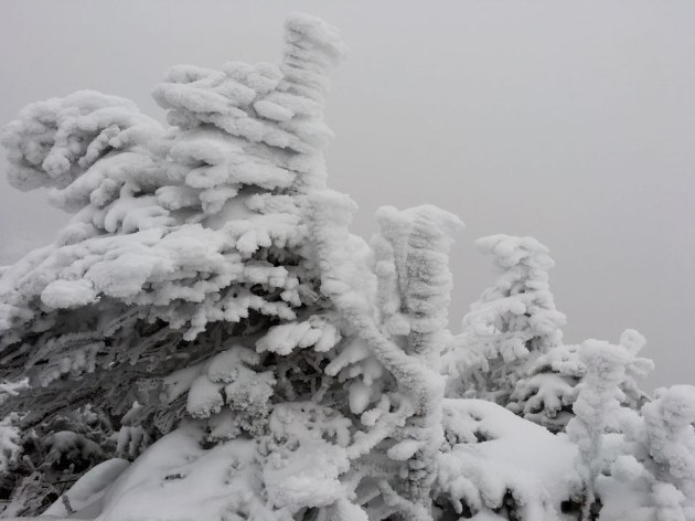 Frost-covered trees