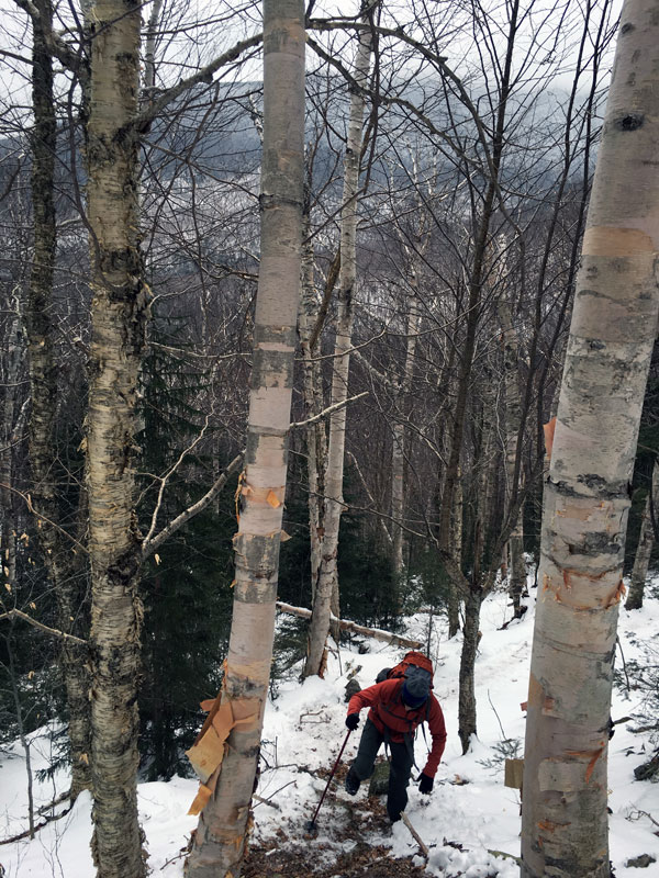 Man climbing mountain through birch forest