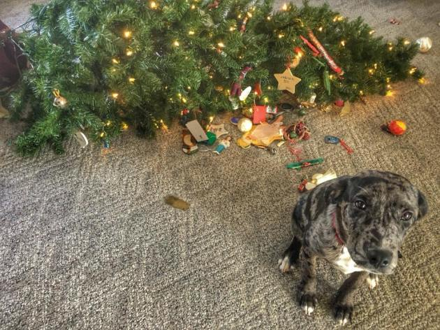 Dog sitting guiltily in front of Christmas tree that has been knocked over