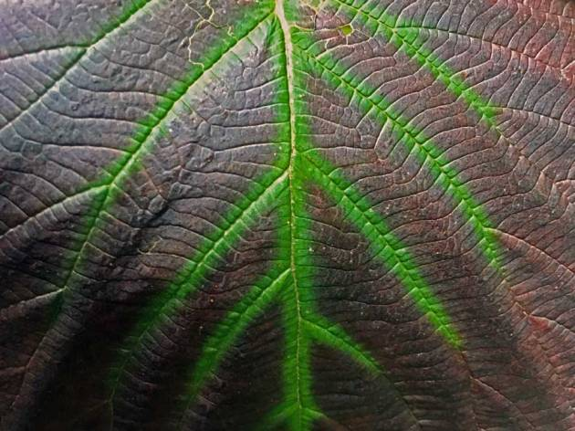 Close up of different colored leaf veins